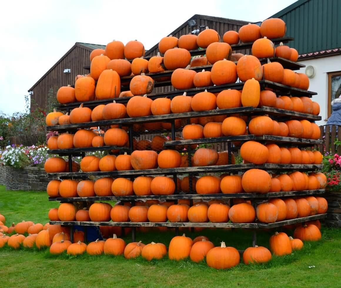 pumpkins in Devon