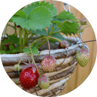 Grow your own strawberries