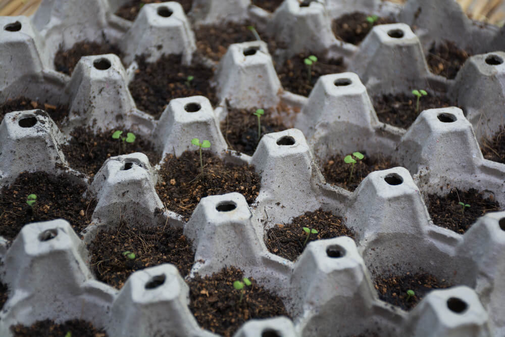 Egg carton seedling starters