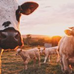 Sustainable Crowd-Sourced Meat from Buy A Cow