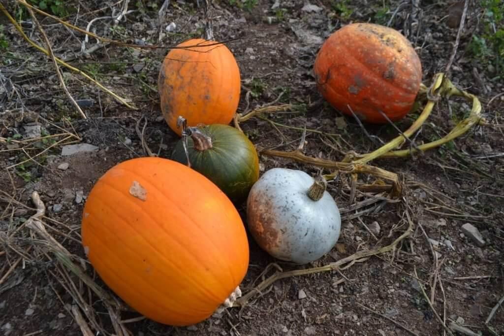 Pick your own pumpkins in Devon